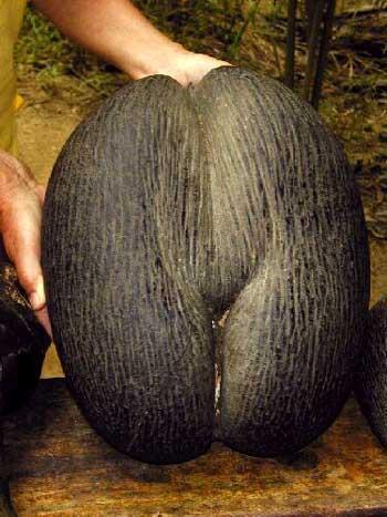 У нее самые большие семена из всех...